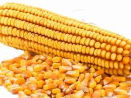 Кукуруза продовольственная 3000 тонн