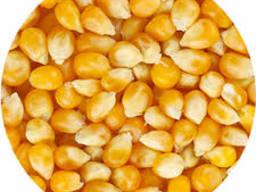 Кукуруза зернова
