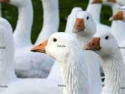 Продаємо добові гусята породи Польська Біла з Kołudy
